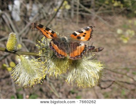 Daily Admiral butterfly (Vanessa atalanta), family Nymphalidae, on flowering ivy goat (Salix), famil