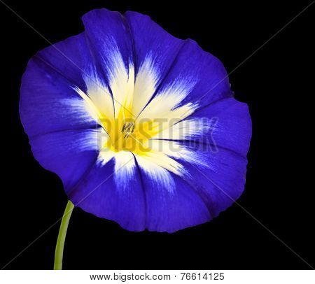 Blue Flower With White Yellow Star Center Isolated