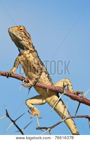 Spiny Agama - African Reptile Background - Posing with Sharp detail