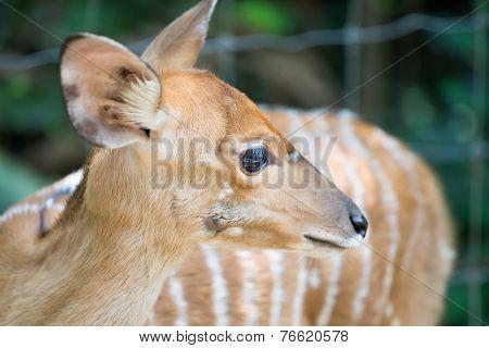 Close Up Of Female Nyala Head ( Tragelaphus Angasii )