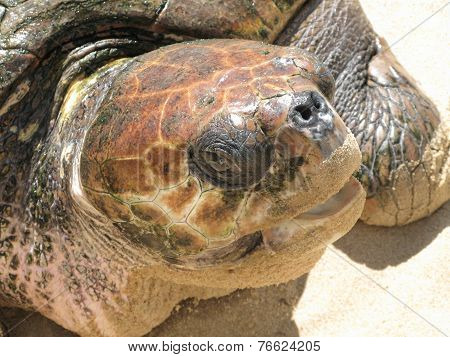 Turtle Head In The Sand. Brazil