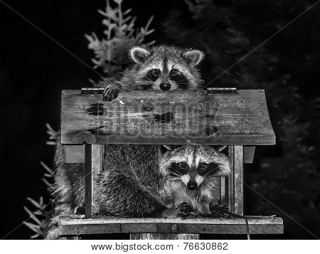 Raccoons Couple in black and white