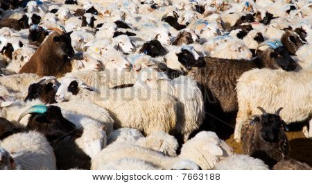 Flock Of Sheep Mixed With Goats