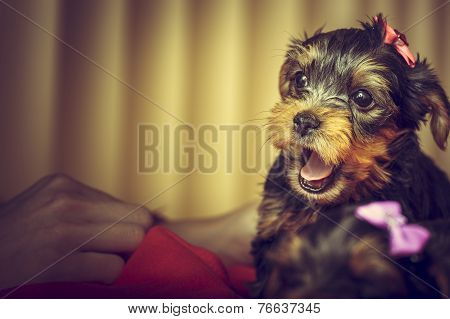Barking Yorkshire Terrier Puppy