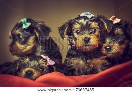 Yorkshire Terrier Dog Puppies
