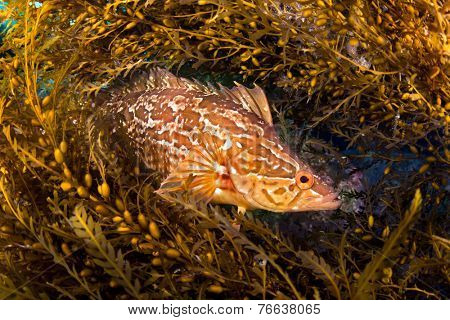 A kelpfish hiding in Sargassum uses these algae to blend in and hide from predators