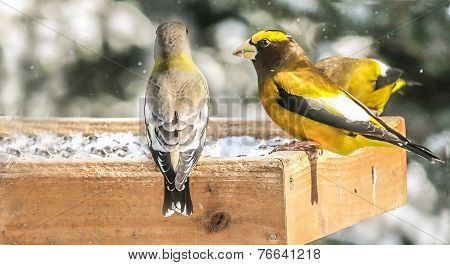 Evening Grosbeak Couple
