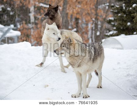 A Small Pack Of Three Eastern Timber Wolves Gather On Snow