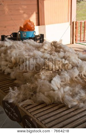 Newly-sheared Sheep's Wool Laid Out On A Farm Work Table