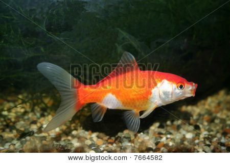 Goldfish with copy space