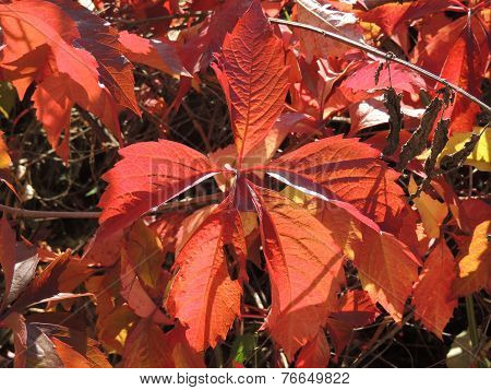 Leaves Of Parthenocissus