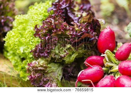Salad And Cultivated Radish