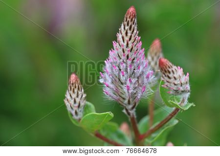 Showy Foxtail,Pink Pussy Tails,flowers and raindrop