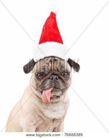 a pug dog isolated on a white background with a santa hat on for christmas