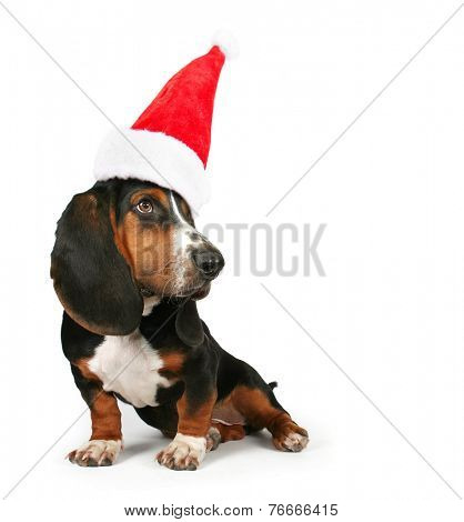 a basset hound sitting on a white background with a santa hat on for christmas