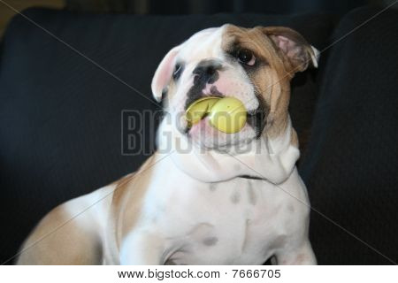 Bulldog Playing With Toys