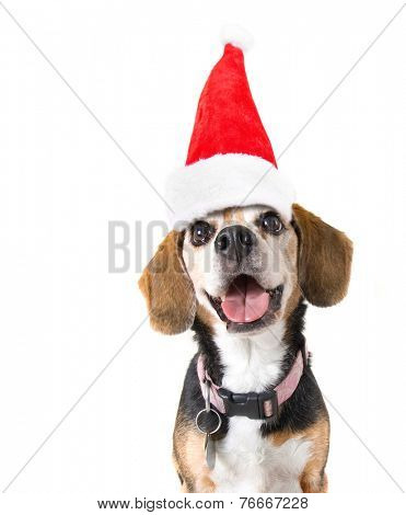 a cute beagle looking at the camera on a white background with a santa hat on for christmas