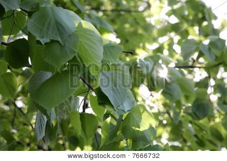 Young Green Leaves