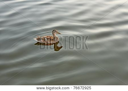Lonely Mallard On Calm Water