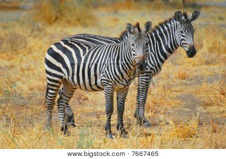Zebra Twin