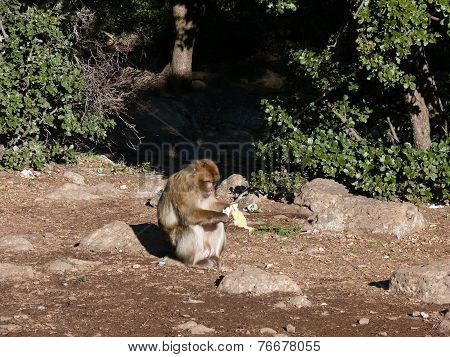 Monkey Studying An Object In Atlas Mountains