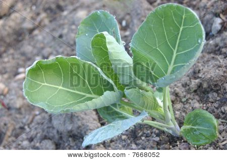 Spring Cabbage Plant
