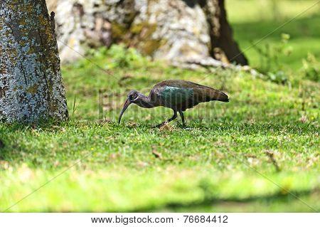 African Hadeda Ibis National Park Lake Naivasha