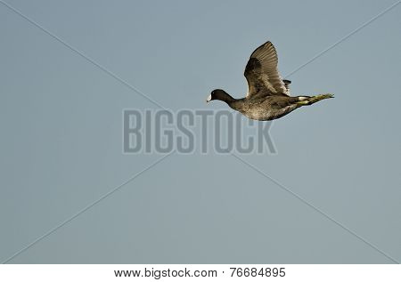 American Coot Flying In A Blue Sky