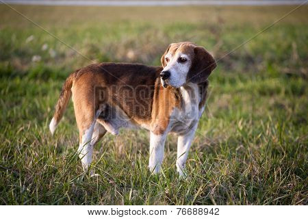 Beagle on meadow, pedigree dog standing on lawn in grass Beagle on meadow, pedigree dog standing o