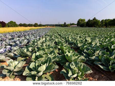 Field with Red and White Cabbage (lat. Brassica oleracea)