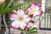 stock photo of desert-rose  - Desert Rose Impala Lily Mock Azalea beauty flowers in Thailand - JPG