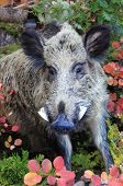 pic of wild hog  - A big wild boar in the forest - JPG