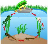 image of aquatic animal  - life cycle european tree frog - JPG