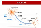 picture of nerve cell  - Anatomy of a typical human neuron  - JPG