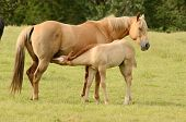 image of paint horse  - American paint mare and colt horse on a cattle ranch in the Umpqua Valley near Roseburg Oregon - JPG
