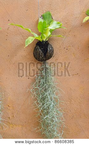 Spanish moss hanging strand and Bird of nest fern