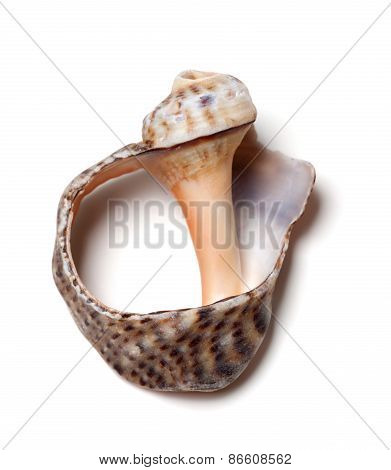 Empty Broken Rapana Shell On White Background