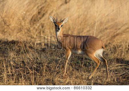 Single Alert Steenbok Carefully Graze Burnt Grass