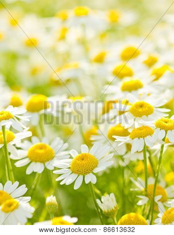 White chamomile in the meadow