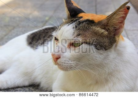 Calico Cat Lie Down