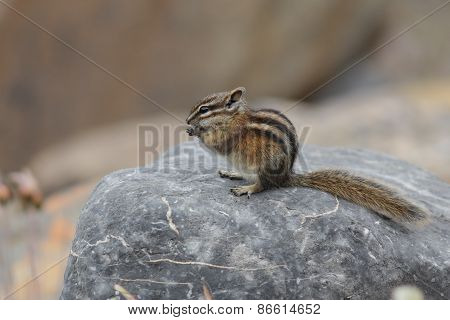 Least Chipmunk Eating A Seed - Jasper National Park, Canada