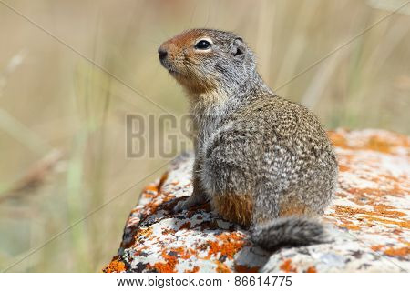 Columbian Ground Squirrel - Waterton Lakes National Park