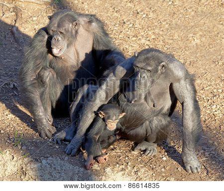 Chimpazee family