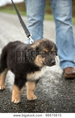 Border Collie crossbreed puppy on a leash staring intently. Border Collie, McNab and Lab mix.