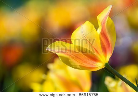 Closeup Of Yellow Tulip Blooming In Flowerbed