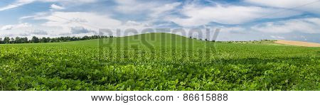 Green Soybean Field Panoramic Photo