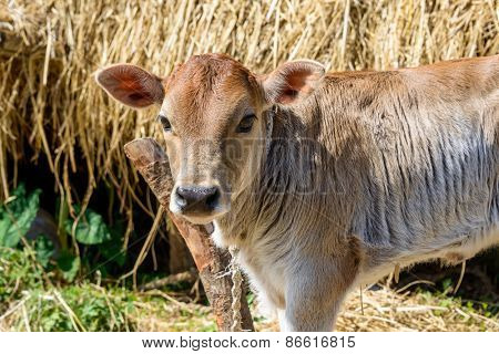 A calf attached to a pole