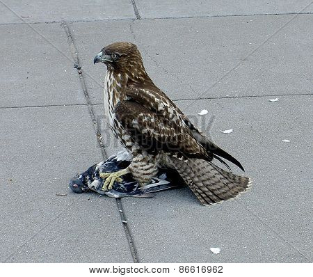 Hawk and caught prey