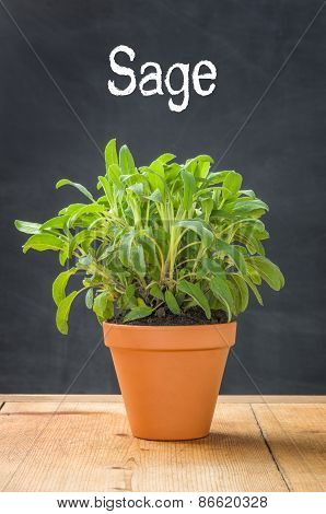 Sage In A Clay Pot On A Dark Background