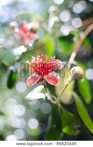 Flowers of Pineapple Guava